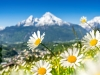 Beautiful blooming mountain flowers in snow-capped Alps in spring